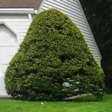 Shrub Shaping Service